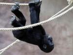 Tatu, il gorilla morto forse suicida nello zoo di Praga